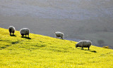 Burren Sheep