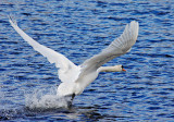 Swan Takeoff