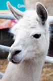 Llama Portrait 2