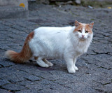 Carcassonne Cat