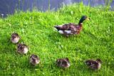 Mallard Quintet + Mom