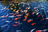 Nishikigoi 錦鯉