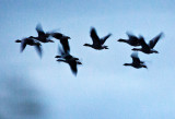 A Gaggle of Geese