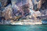 Pelican Rocks