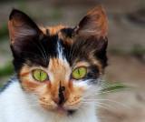 Calico Cat 2