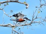 Ringed Kingfisher2
