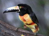 Collared Aracari2