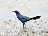 Great-tailed grackle2