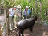 Meet the Tapir