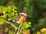 Pygmy Kingfisher1