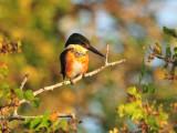 Pygmy Kingfisher2