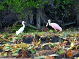 Snowy and Spoonbill