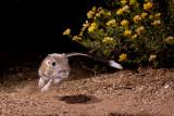 Banner-tailed Kangaroo Rats and Diamondbacked Rattlesnakes