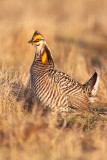 North American Grouse