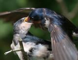 Barn swallow / Hirundo rustica / Boerenzwaluw