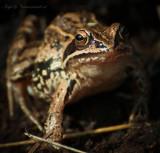 Heikikker - Moor Frog - PSLR-9990.jpg