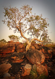 Gum Tree at Dawn