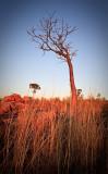 Boab Tree at Sunrise