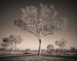 Kimberley Gum Tree in Duotone