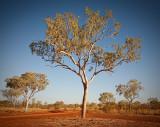 Kimberley Gum Tree