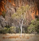 Windjana Gorge Gum Tree