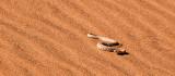 Sidewinder Snake in Sand Dune