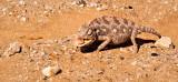 Chameleon in the desert