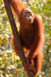 Orangutan hanging out