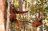 Orangutan and baby playing in tree