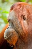 Orangutan profile