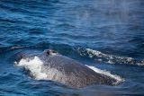 Humpback Whale blows a bit of air 2