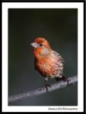 Male House Finch...