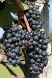 Grapes / Trauben