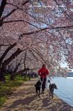 Washington's Cherry Blossoms