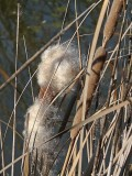 Another Cattail