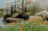 Poppies at the Shore