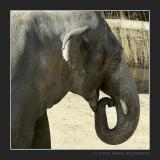 Male Elephant Bindu