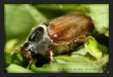 May Beetle (Melolontha melolontha)