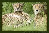 Cheetahs at Cologne Zoo
