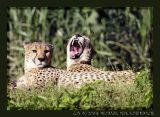 Cheetahs, again