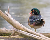Balancing Wood Duck
