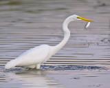 Egret's Catch