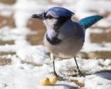 Blue Jay Close-up