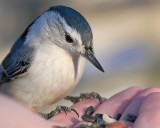 Nuthatch in my hand