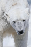 Cuddly Polar Bear