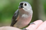 Tufted Titmouse in my hand