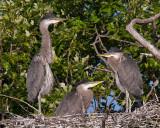Juvenile Blue Herons