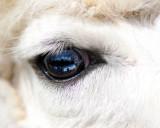 Dusty Rose's Blue Eye