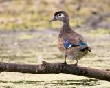 Posing Wood Duck