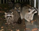 Hungry Raccoons